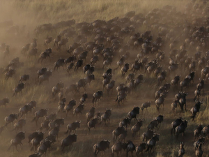 Wildebeest Migration Offers Photos