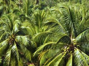 Ben Tre Province - Sweet Aftertaste Of Coconut Kingdom Photos