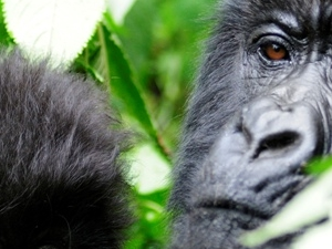Gorilla Safari to Bwindi Impenetrable Forest National Park Tour Photos