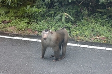 Macqaue Monkey...