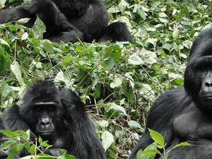 3 Days Gorilla Trekking Tours Photos