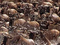 Masai Mara Great Wildebeest Migration