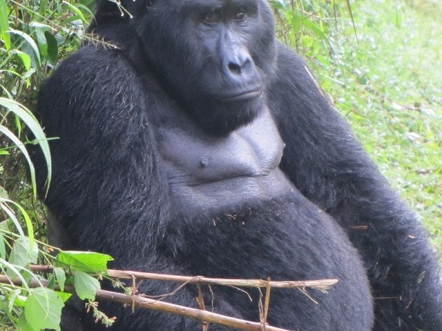 Gorilla, Nature Wildlife and Chimpanzee Treks Uganda Safari Photos