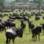 Million Of Wildebeests Participate In The Migration.