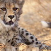 Cheetah Breeding Project Tour at Hoedspruit Endangered Species Centre