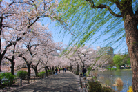 Cherry Blossoms and Historical Walking Tour in Tokyo Photos