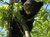 Himalayan Black Bear Cub