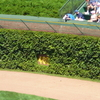 Wrigley Field Distinctive Ivy-Covered Outfield Walls