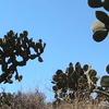 Nopal In Northwestern Zacatecas