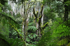 Tarra-Bulga National Park