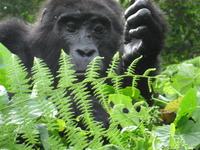 4 Days/3Nights Gorilla Safari