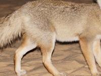 EGYPT FOX -WHITE DESERT