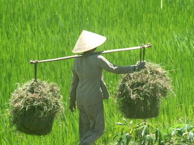 Farmer In Bình Định Province