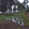 Ducks Wandering The Garden Around The Lake