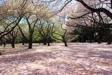 Cherry Blossom Of Shinjuku Gyoen