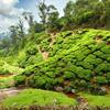 Tea Field In Munnar Kerala India