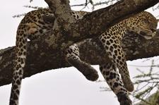 Lleopardo