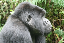 Proud Silverback. Volcanoes National Park In Rwanda!