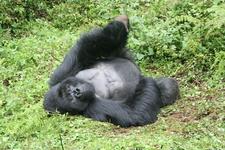 Silverback Having A Nap. Rwanda.