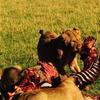 Three Lions Sharing A Zebra At Maasai Mara Plain