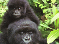 800px Gorilla Mother And Baby At Volcans National Park