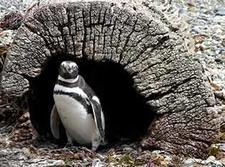 Patagonia Penguin