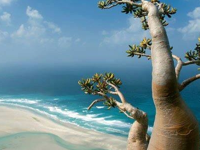 Bottle Tree In Socotra Island