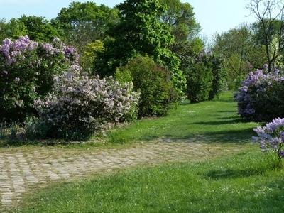 Lilacs Of The Arboretum De L'École Du Breuil