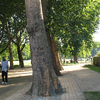 London Planes At Deptford Park
