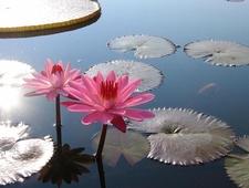 Lotus In Anzali Lagoon