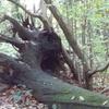 Tree Stump In Shepherdleas Wood