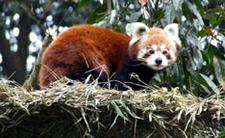 4862277 Red Panda Darjeelin