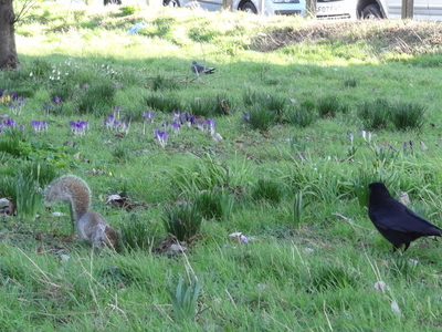 Squirrel And Blackbird In Ackroyd Drive Greenlink