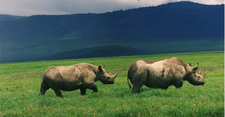 Black Rhinos In The Crater