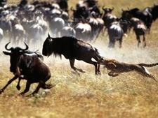 Cheetah Chasing Wildebeests For Prey