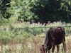 Cranebank Cows