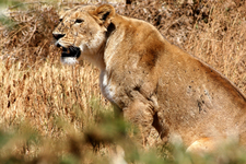 Hungry Lion At Ngorongoro Crater