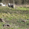 Sheep Graze On Hutchinson's Bank