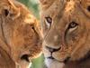 Lions 010