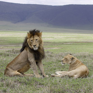 Lions At Ngorongoro Crater