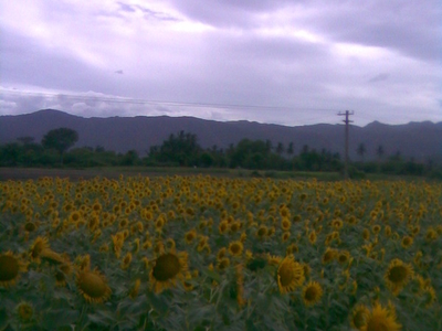 Sunflower Cultivation At Perambalur