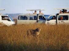 Tourist With Tour Vans Taking Photos In Masai Mara
