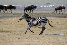 Wild Animals Zebra Wildebeest In Back At Ngorongoro Crater