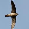 A Black-nest Swiftlet