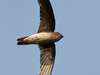A Black-nest Swiftlet