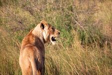 Lioness800x600