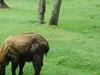 A  Takin The National Animal Of  Bhutan