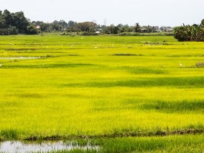 Donggongon Paddy Field