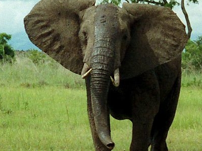 Big5   Elephant
