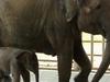 Female Elephant With Baby Elephant  Nature  Park